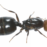 Download and use Ants PNG Image