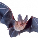 Grab and download Bat PNG Picture