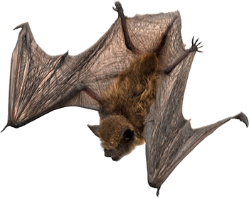 Download for free Bat PNG