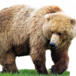 Download for free Bear PNG Image Without Background