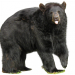 Download this high resolution Bear PNG Picture