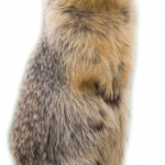 Download this high resolution Beaver Transparent PNG Image