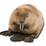 Download and use Beaver PNG Picture
