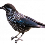 Free download of Birds PNG Picture