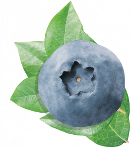 Now you can download Blueberries In PNG