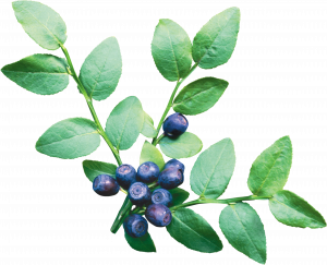 Download and use Blueberries High Quality PNG