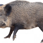 Grab and download Boar PNG Picture