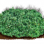 Download this high resolution Bushes PNG Image