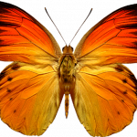 Download for free Butterfly Transparent PNG Image
