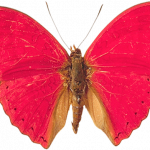 Download for free Butterfly High Quality PNG