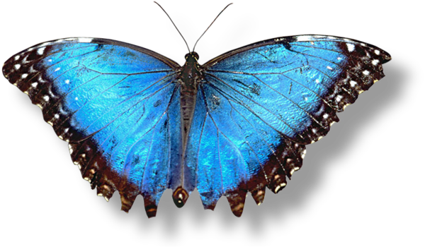 Best free Butterfly PNG Picture