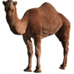 Grab and download Camel PNG Picture