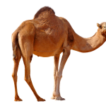 Now you can download Camel Transparent PNG File