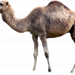 Download for free Camel PNG