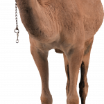 Now you can download Camel  PNG Clipart