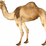 Best free Camel High Quality PNG