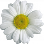 Now you can download Camomile  PNG Clipart