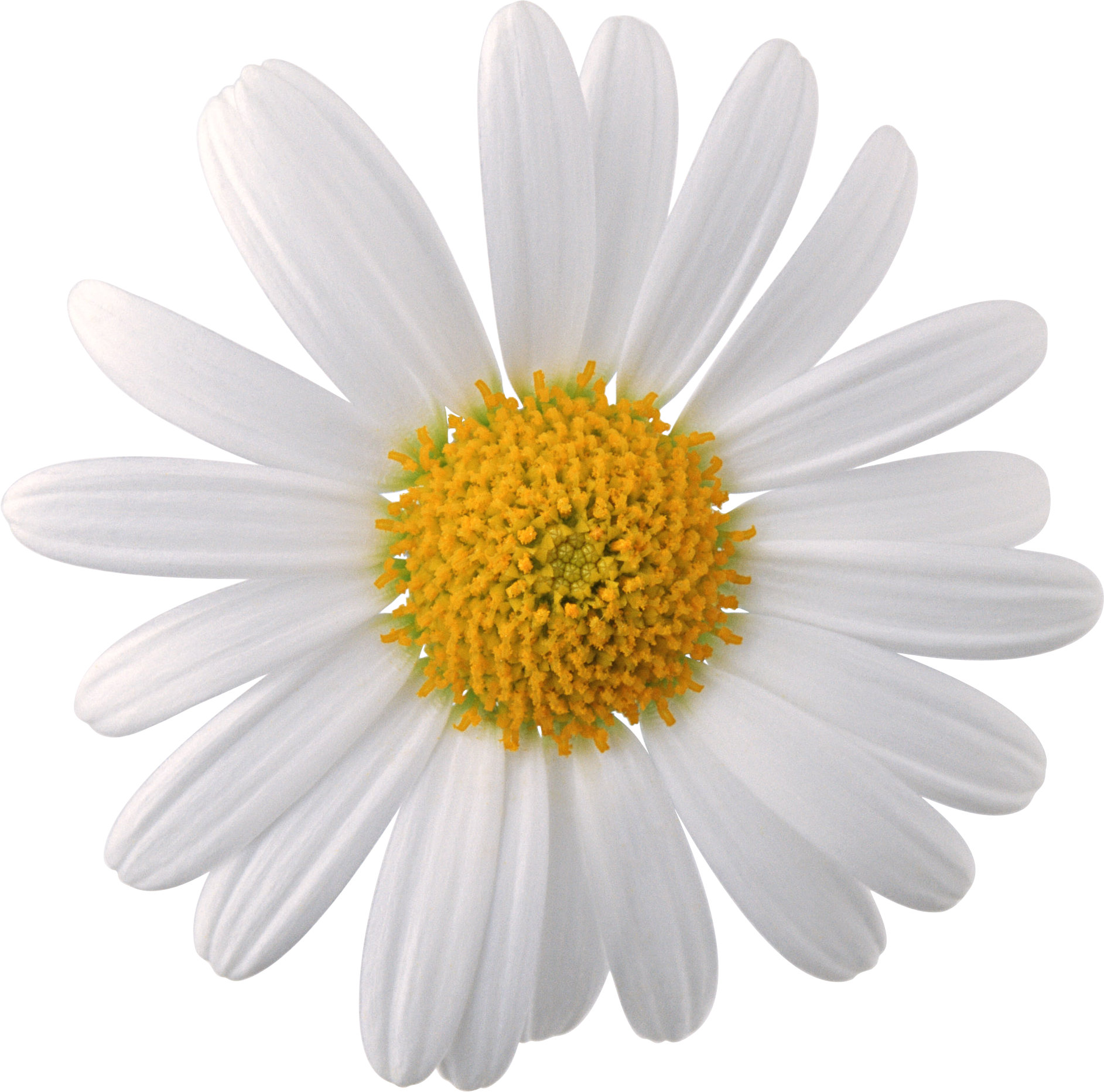 Free download of Camomile PNG Image Without Background