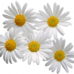 Grab and download Camomile Transparent PNG Image
