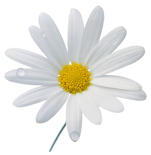 Now you can download Camomile PNG Picture