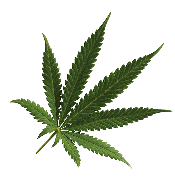 Grab and download Cannabis  PNG Clipart