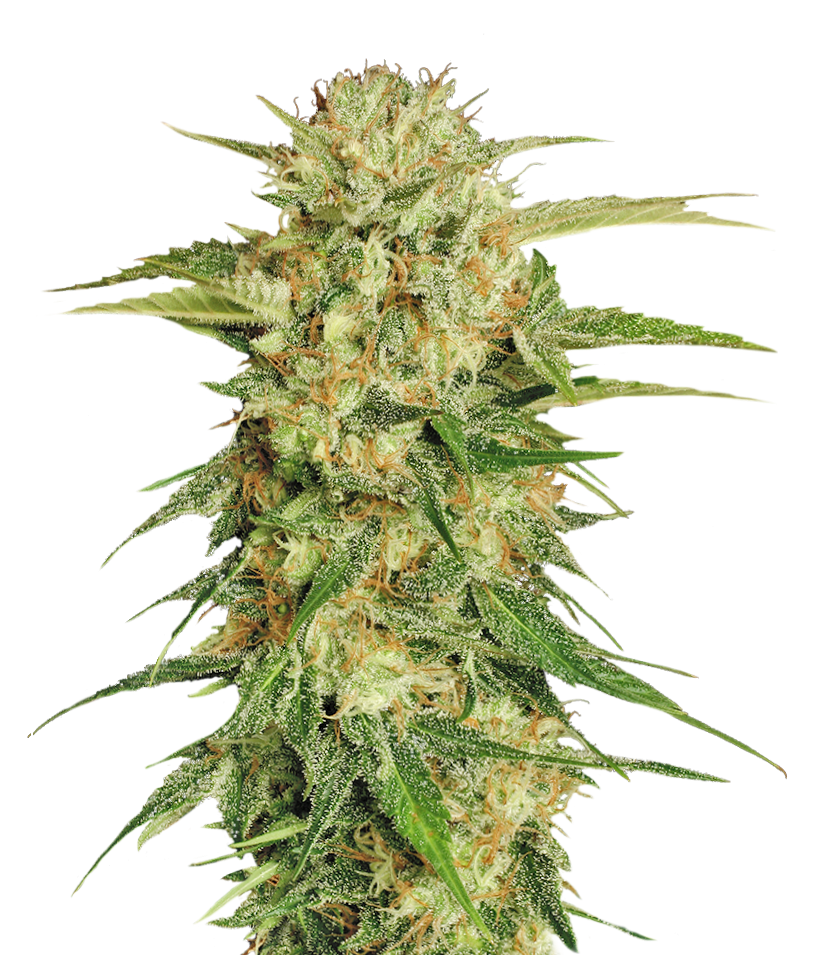 Download for free Cannabis PNG Image Without Background