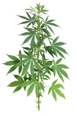 Download for free Cannabis PNG