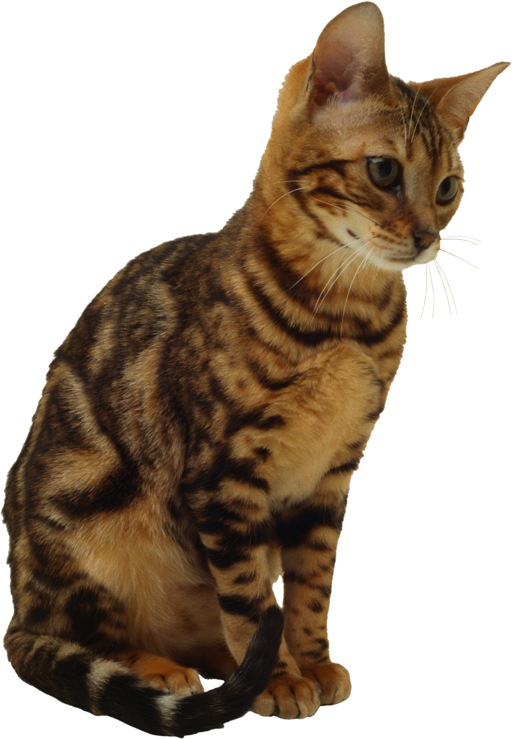 Download and use Cats PNG Image