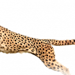 Download this high resolution Cheetah High Quality PNG