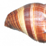 Now you can download Conch High Quality PNG