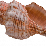 Now you can download Conch Transparent PNG Image