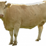 Free download of Cow PNG Image