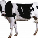 Download and use Cow  PNG Clipart