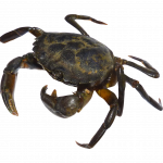 Now you can download Crab In PNG