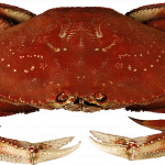 Free download of Crab PNG Image Without Background