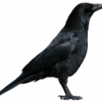 Free download of Crow Transparent PNG File
