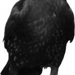 Now you can download Crow PNG in High Resolution