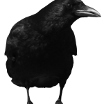 Grab and download Crow PNG in High Resolution