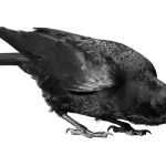 Best free Crow PNG in High Resolution