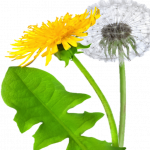 Download and use Dandelion PNG