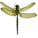 Best free Dragonfly PNG in High Resolution