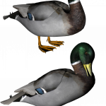 Best free Duck PNG Image