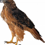 Now you can download Eagle  PNG Clipart