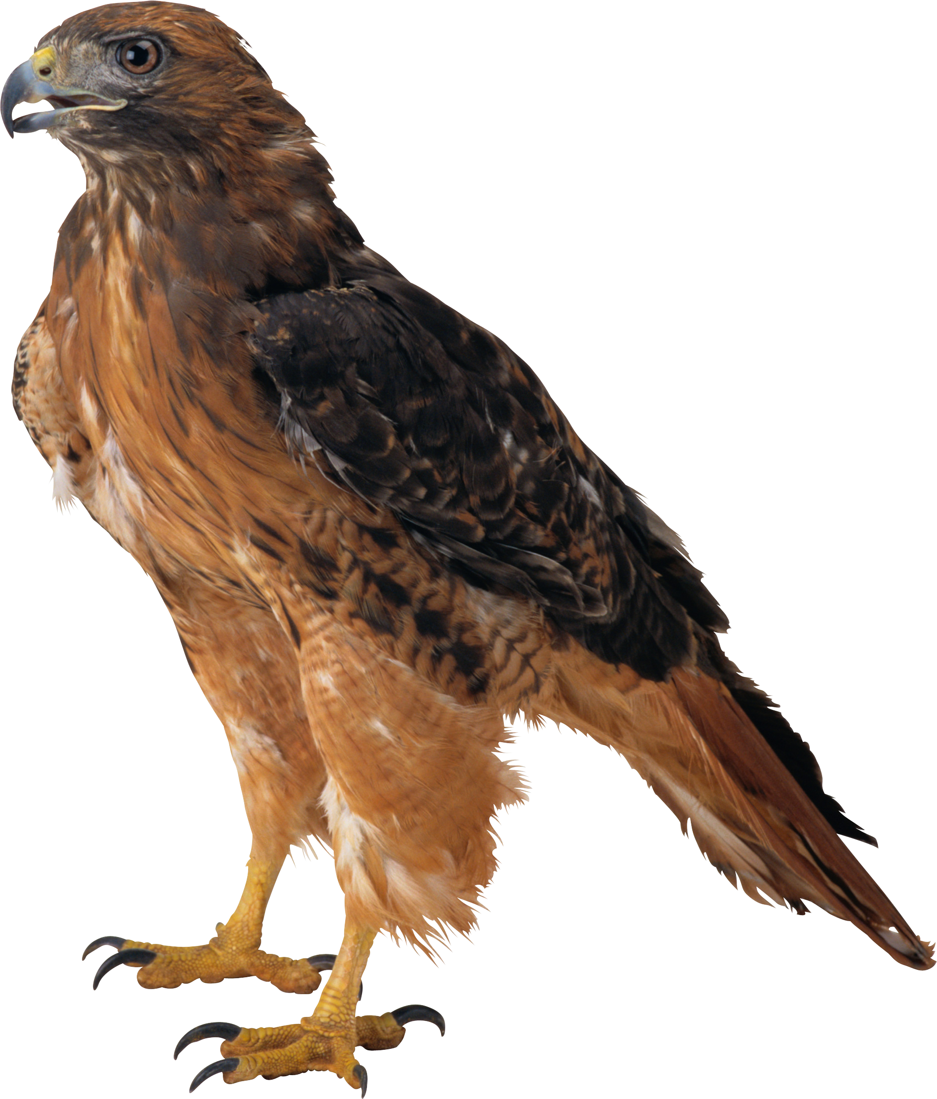 Eagle Icon Clipart | Web Icons PNG