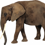 Download this high resolution Elephants PNG in High Resolution