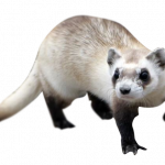 Best free Ferret High Quality PNG