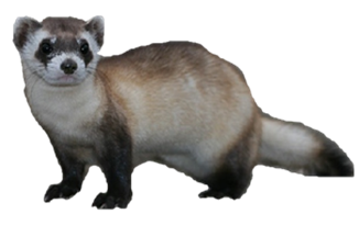 Download and use Ferret PNG Icon