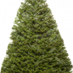 Download for free Fir-Tree PNG