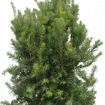 Free download of Fir-Tree In PNG