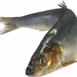 Download this high resolution Fish  PNG Clipart